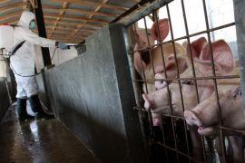 Wabah Hog Cholera masih ancam peternakan babi, ini antisipasinya