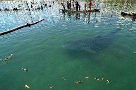 Menteri Susi akan pantau hiu tutul di Probolinggo