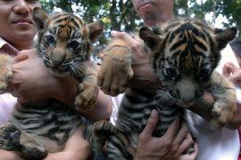Tiga ekor bayi harimau Sumatera lahir di Bali Zoo