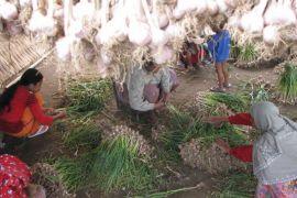 Petani Sembalun harapkan pemerintah evaluasi swasembada bawang putih