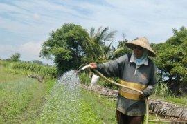 Belasan hektare tanaman padi di Aceh besar gagal panen