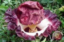 Bunga Bangkai Tumbuh Di Payangan