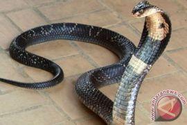 Indonesia tak punya  data gigitan ular berbisa