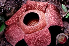 Asita : Keunikan Rafflesia pukau wisatawan asing