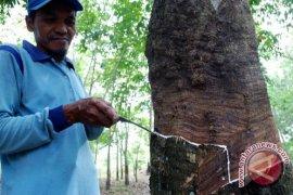 Petani karet Bengkulu beralih ke kopi