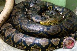 Gigitan ular berbisa di Lebak cukup tinggi