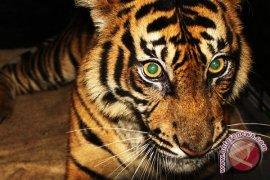 Harimau pemangsa dua anjing warga di Pesisir Selatan dilaporkan ke TNKS