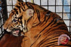 BKSDA tangkap Harimau Sumatra dari kebun warga