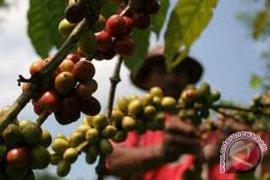 Ekspor kopi Lampung turun 50 persen
