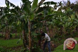 Kemenristekdikti tertarik kembangkan pisang dan ubi Rejanglebong