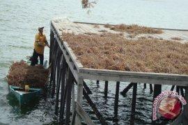 Warga Bontang Terbantu Dermaga Penjemuran Rumput Laut