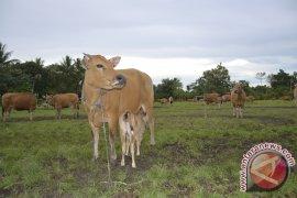 Kaltim Percontohan Pengembangan Ternak Lahan Bekas Tambang