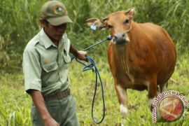 Gorontalo distribusikan 260 ekor bibit sapi