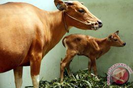 "Taman Safari Prigen kembangkan sapi ""Jaliteng"""