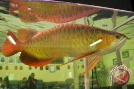 Kontes ikan arwana akan digelar di perbatasan Indonesia - Malaysia