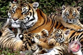 65 harimau huni dua taman nasional di Jambi