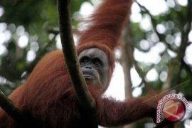 Orangutan di Sumatera tersisa 200 ekor