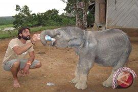 Bona si anak gajah korban konflik lewati masa malnutrisi