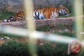 Kematian individu harimau berdampak luas pada populasi