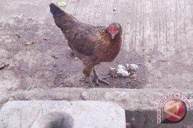 Kelompok wanita tani Rejang Lebong akan peroleh bantuan ayam