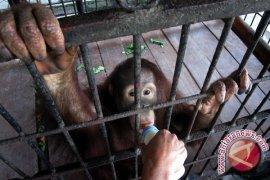 Penjualan Orangutan digagalkan