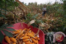 80 persen tanaman jagung di Zambia rusak diserang ulat bulu