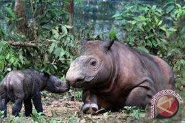 Badak Sumatra Andatu dilepasliarkan