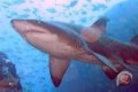 Turis Jerman diserang hiu akhirnya meninggal