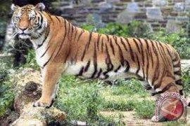 Warga Bengkulu diimbau waspadai harimau berkeliaran