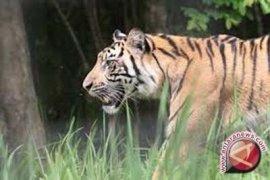 Harimau penyerang warga Jambi terus diburu