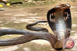 Pemuda Depok tewas dipatuk ular King Cobra