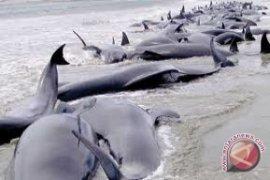22 paus terdampar di pantai florida, 17 mati