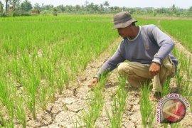 Petani Sawah Tadah Hujan Di Mukomuko Butuh Sumur Bor