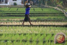 Dinas Pertanian: 700 hektare sawah di Cirebon gagal panen