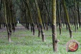 Petani Mukomuko usulkan kebun karet jadi sawah