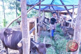 Dinas jamin kesehatan sapi Mukomuko dijual keluar