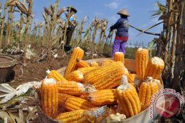 Produksi jagung Sumut turun dampak erupsi Sinabung