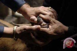 Disnak Bali Cek Kesehatan Kambing Kurban