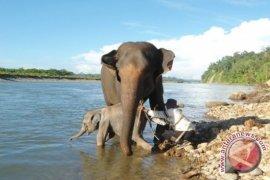 Bengkulu susun rencana aksi Koridor Gajah Seblat