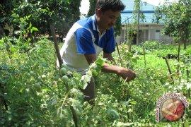 Harga tomat di Rejanglebong naik drastis