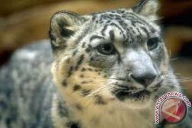 Macan tutul salju yang terancam punah terlihat di Qomolangma
