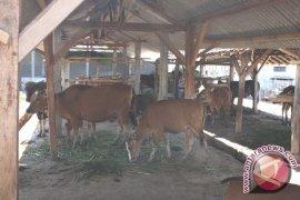 Perguliran Ternak Penajam Terapkan Model Indukan Bunting