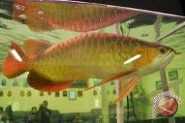 Ikan Khas Kapuas Hulu Perlu Hak Paten