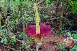 Bunga raflesia dan amorphopalus mekar di kepahiang