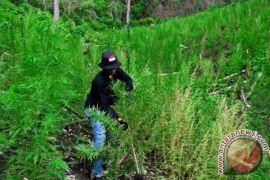 TNI-Polri Oksibil bersama warga musnahkan ladang ganja