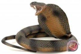 Ular Kobra Berkepala Tiga Muncul di Pura