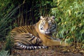 Warga resah adanya laporan harimau berkeliaran