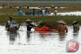 Tanggul jebol, lahan pertanian di Jember terendam