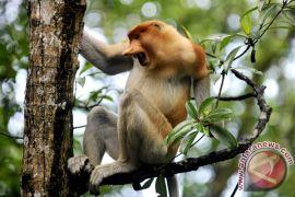 Biodiversitas Indonesia temukan bekantan di Pulau Curiak