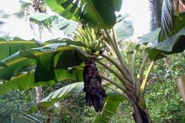 Omzet pedagang daun pisang meningkat